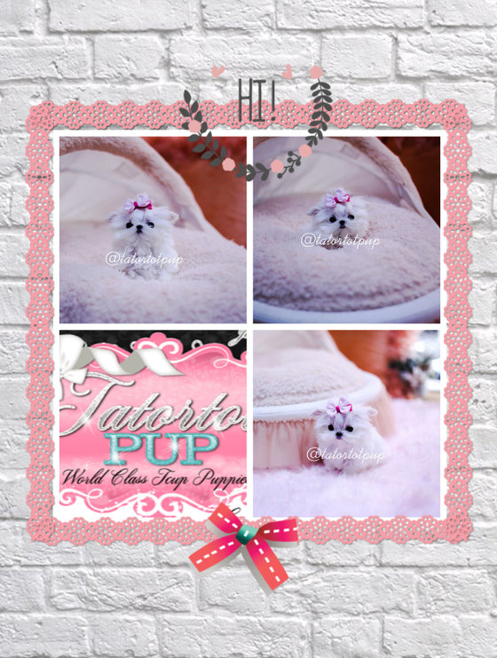 Sold! - Teacup Maltese Princess Bijou - Amazing Tiny Little Girl $5500 plus delivery