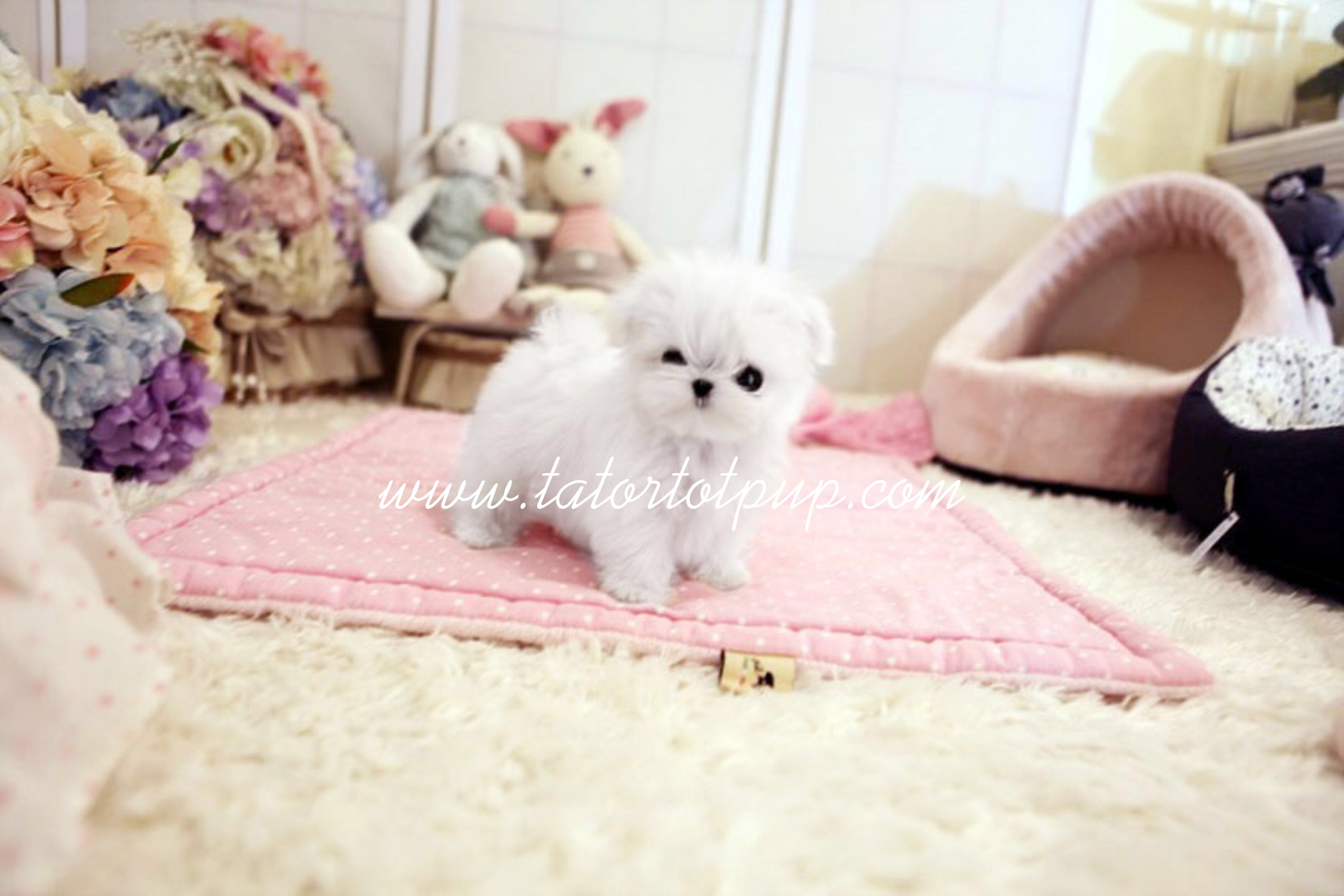 Sold to Canada!  Micro Tiny Teacup Maltese Princess Althea - $5500 FIRM plus delivery