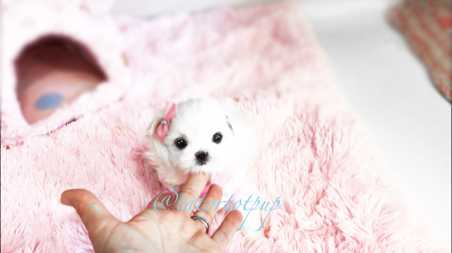 Pending Deposit Reservation!  Gorgeous Maltipom Ariel is ready for deposit reservation - $3000 plus delivery