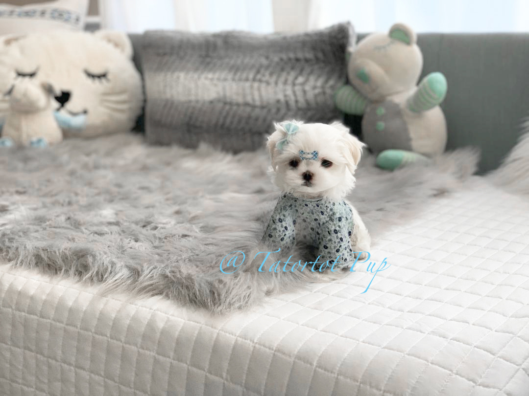 Sold!  Tiny Babydoll Extreme Faced - Maltese Prince Bennigan $2500 Pet Price plus delivery