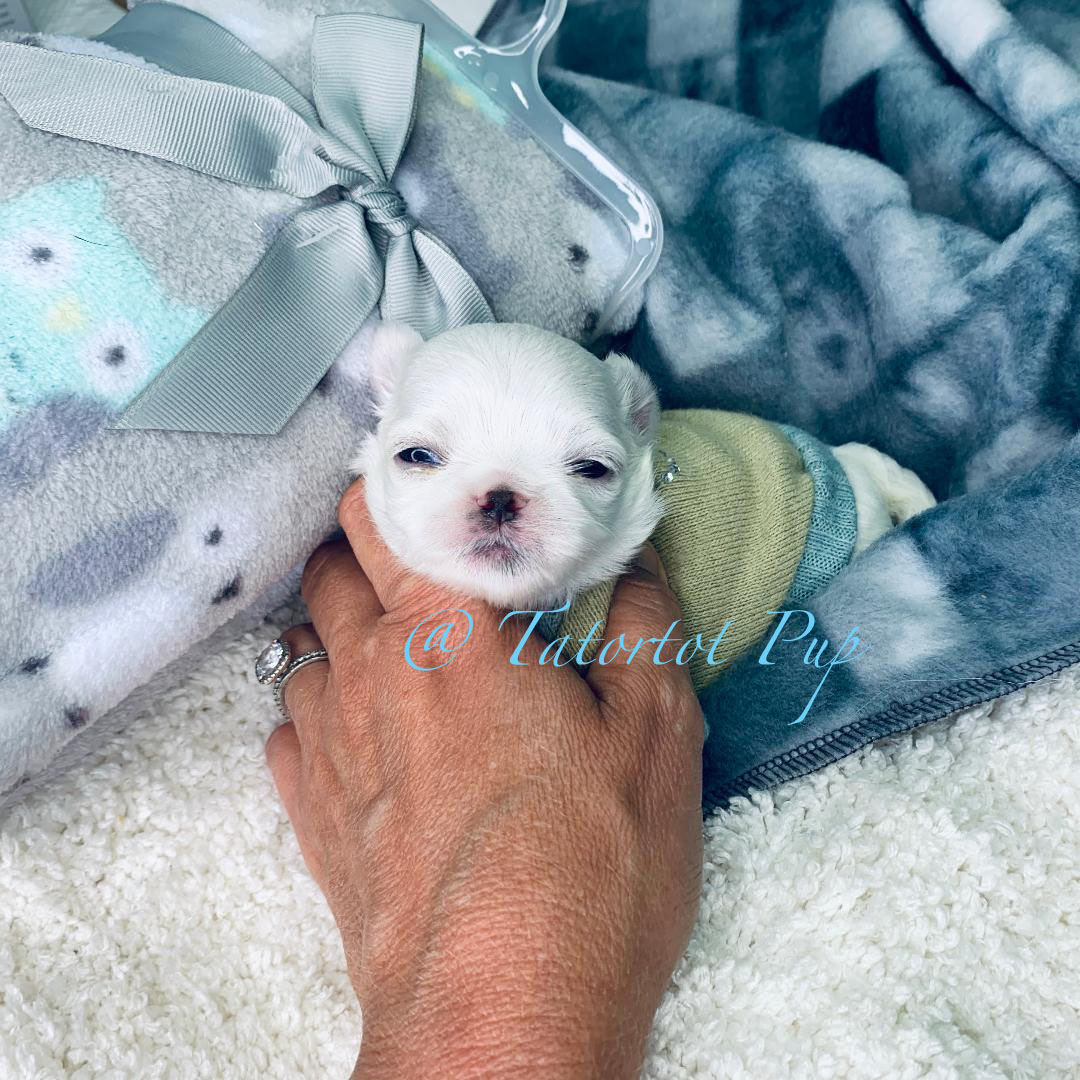 Tiny Babydoll Extreme Faced - Maltese Prince Bennigan $2500 plus delivery