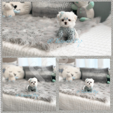 Sold!  Standard Sized Babydoll Extreme Faced - Maltese Prince Bennigan $3500 Pet Price plus delivery