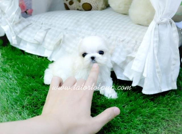 Pending Deposit!  Adele Available Maltese Teacup Princess $5000 plus delivery