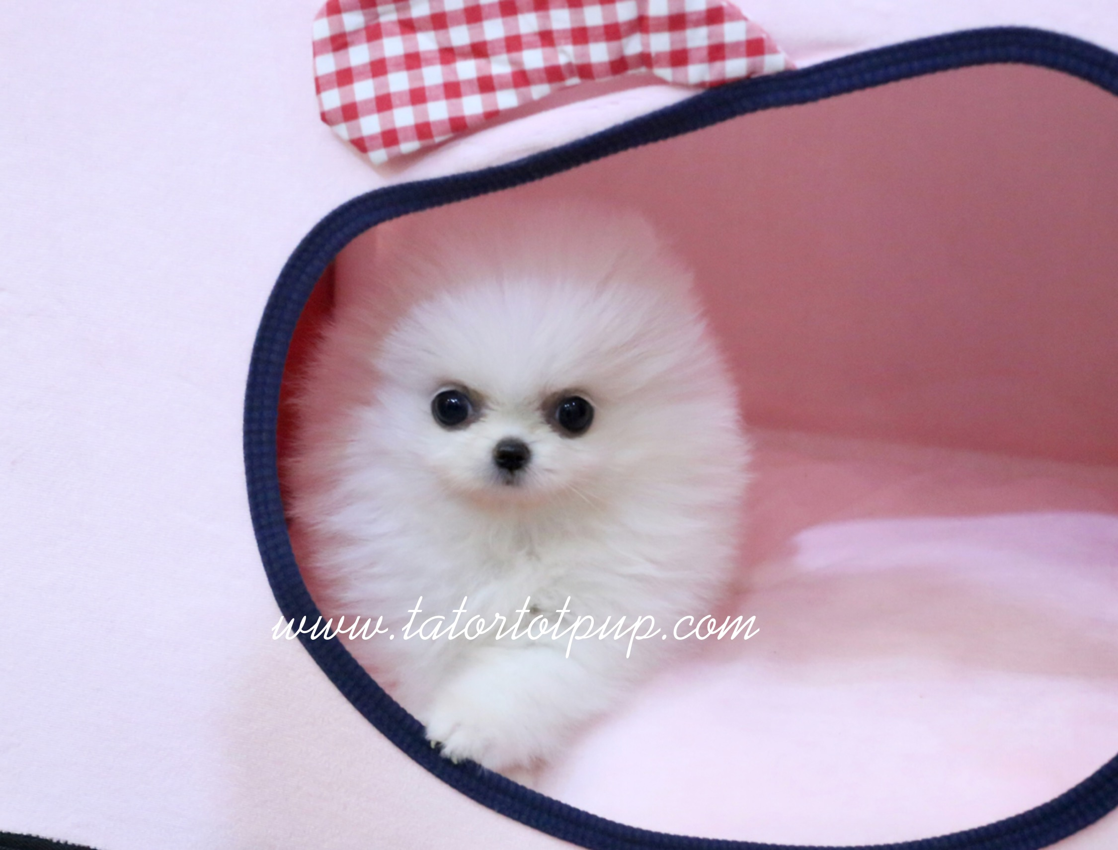 Sold!  Platinum Quality White Pom Princess BMINE $6000 plus delivery