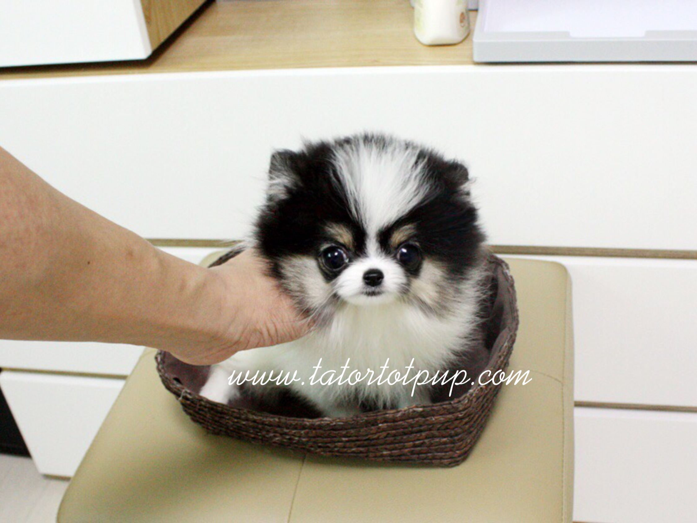 6 Months old!  Tiny Tri Colored Parti Pomeranian Teacup Female Coco! Available on SALE!