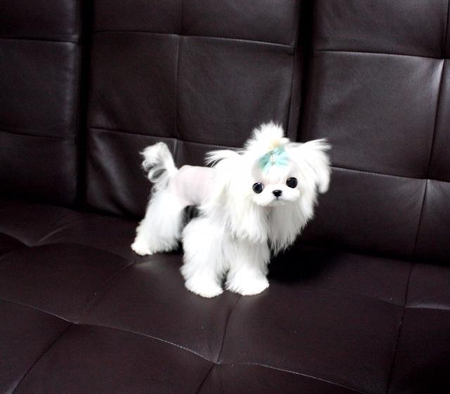 Prince Fabio - A Extreme Babydoll Maltese Tiny Stud