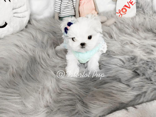 Sold! Gorgeous Babydoll Geo - A very Extreme babydoll Maltese - $4500