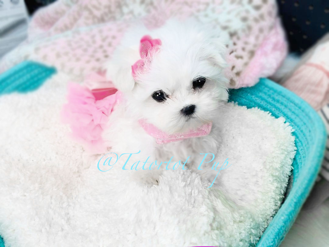 Tiny Baby Maltese Girl Izzy - Sold!