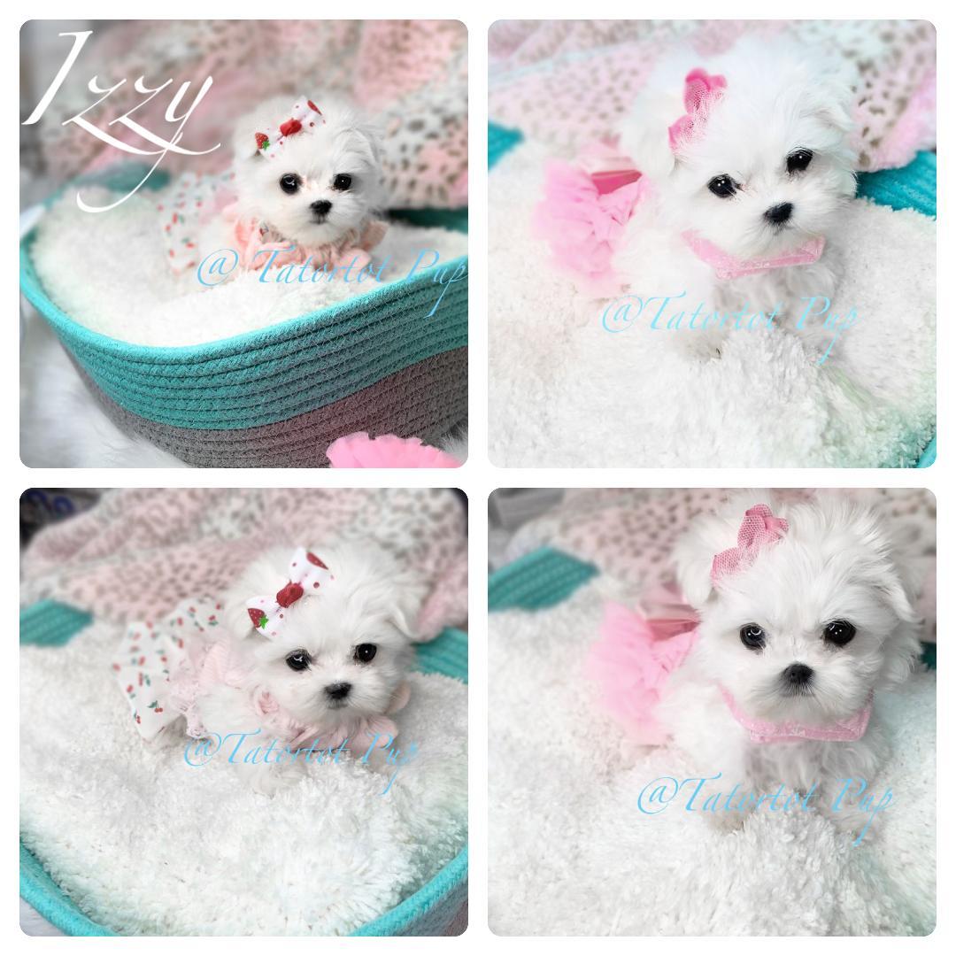 Sold!  Tiny Baby Maltese Girl Izzy -
