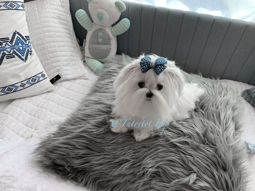 Reserved for Kelly! 8 month old 2 pounds! Teacup Tiny Maltese Prince Jasper On Sale - $3700 plus delivery or Sales Tax