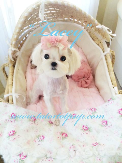 Lacey a Babydoll Maltese Female