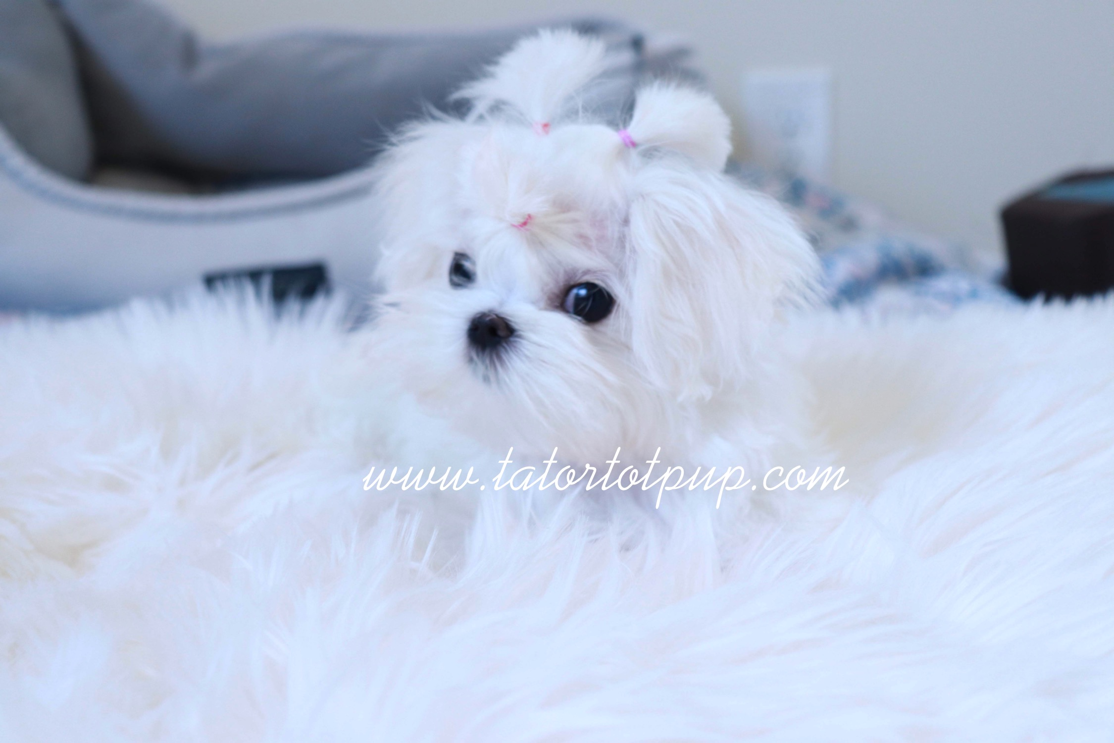 Reserved! -Tiny Teacup Maltese Princess Leah $4500 PLUS delivery