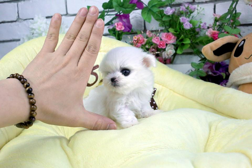 Pending Deposit - Tiny Baby Leia - A Maltese Babydoll Tiny - $4500 plus delivery