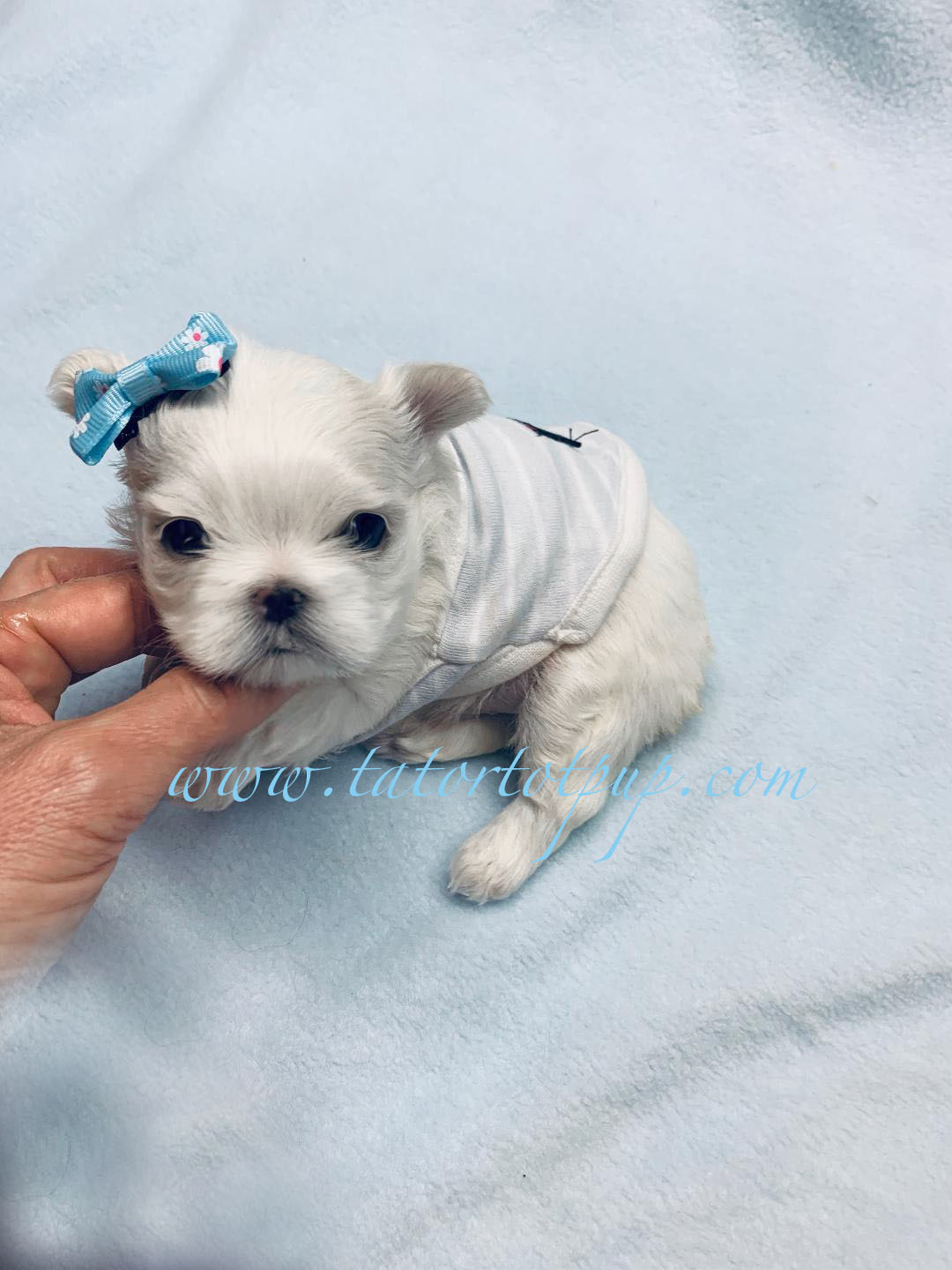 Ahhhh mazing Tiny CKC Registered with Pedigree behind him - Prince Vladimir Maltese Babydoll Ready for Reservation Deposit $3800 plus delivery