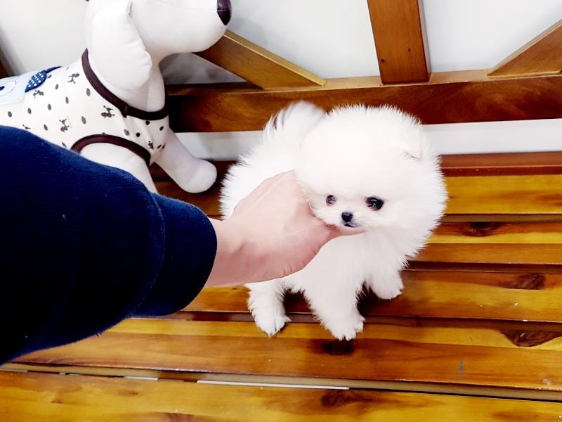 Sold!  White Pom Princess Matilda $4500 plus delivery