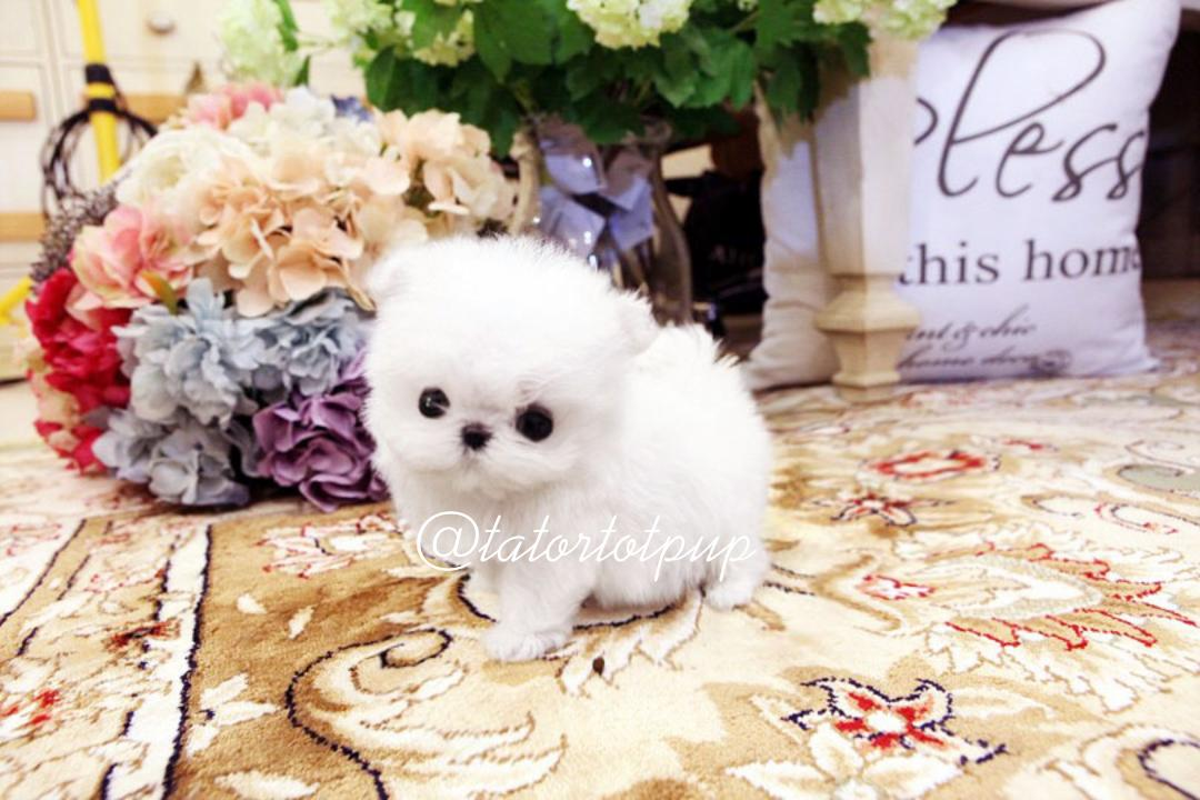 Sold!  Now Gigi!  Micro Tiny Teacup Maltese Princess Pixie Dust  On Sale -$5500 plus delivery or sales tax!