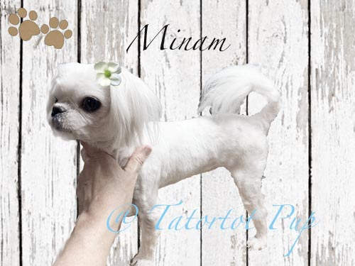 Minam - A perfect Example of a Babydoll Maltese