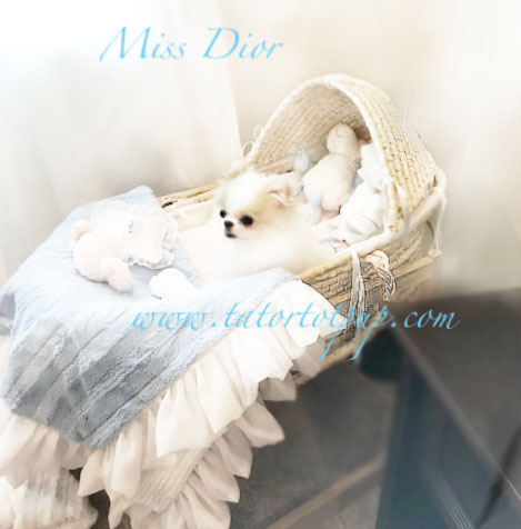 Miss Dior - A Very Pale Cream and White Parti Female Pom - Two Spots of Pale Cream and White everywhere else!