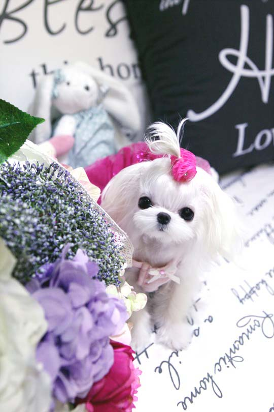 Prince Mozart!  A fine example of a very extreme Babydoll Maltese Male - 3 pounds!
