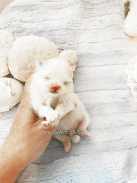 Pending for Tamar! Tiny Babydoll White Pom Male - Pet ONLY absolutely NO BREEDERS!  $4800 PLUS delivery