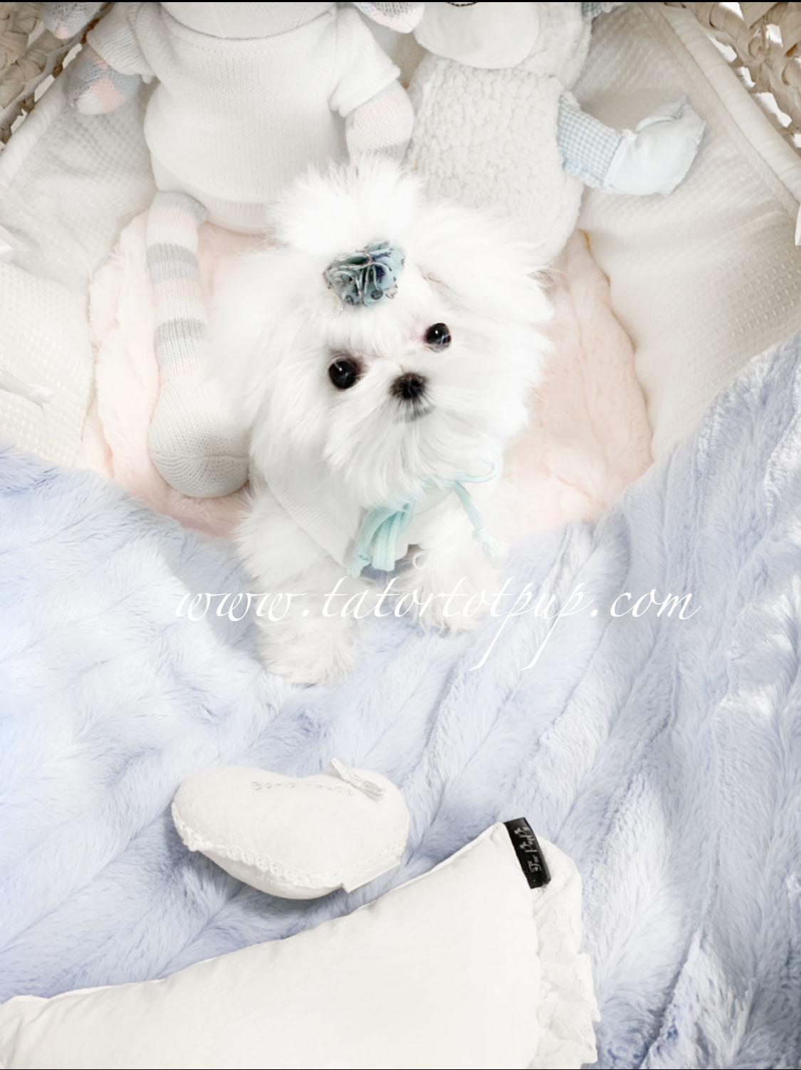 Sold! Gorgeous Teacup Maltese Male Prince Octavius!  $4500 plus delivery