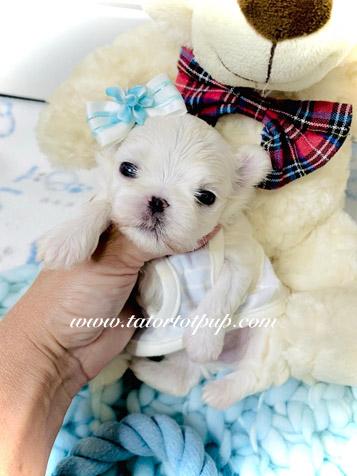 Reserved - Maltese Male Babydoll Oliver!