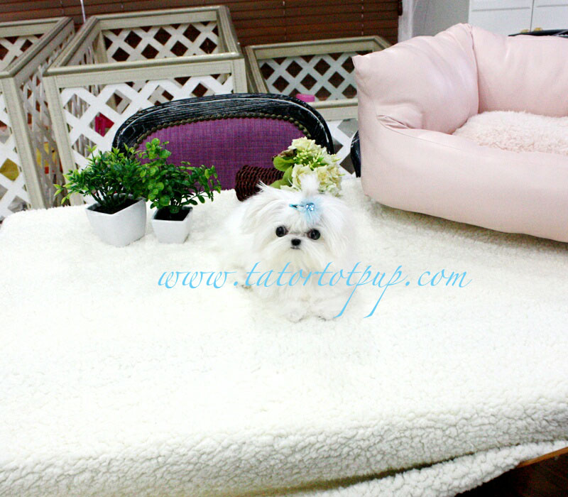 Sold!  Teacup Maltese Male Prince Jackson $5200 plus delivery