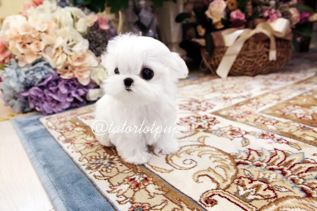 Available 4 month old Teacup Tiny Maltese Prince Jasper On Sale - $4500 plus delivery or Sales Tax