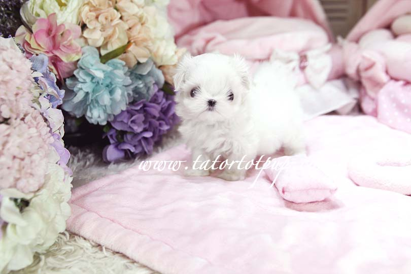Reserved!  Teacup Princess Je t'aime a Maltese Babydoll