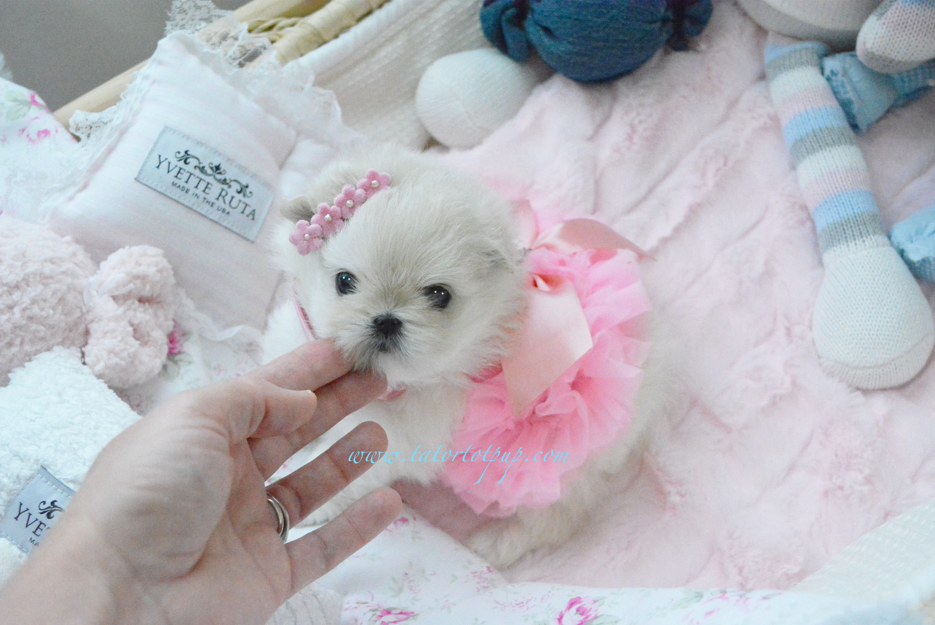 Reserved! - Tiny Maltipom Princess Punim Lucy