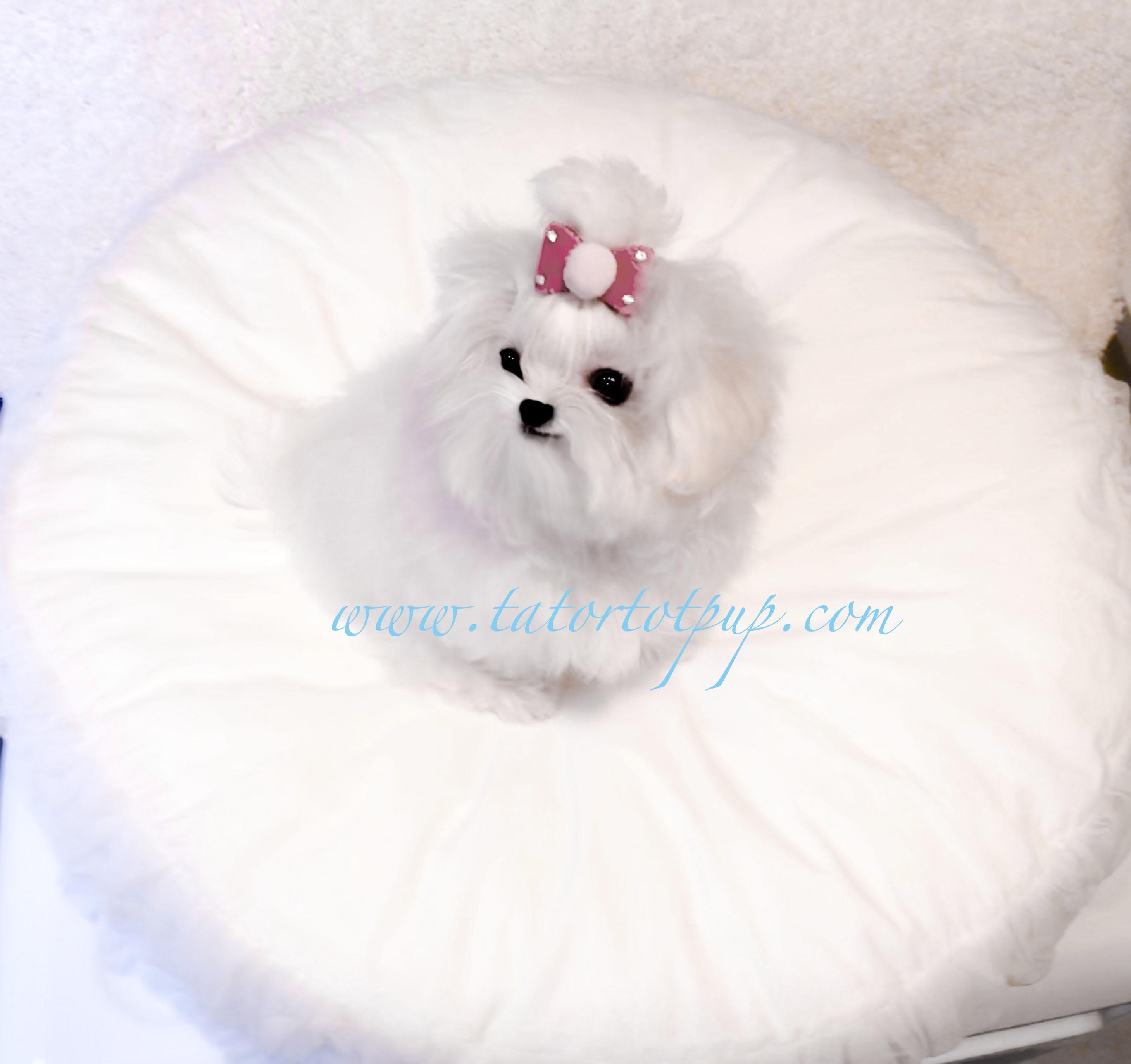 Sold! Tiny Gorgeous Maltese Princess Tiara - $5200 plus delivery