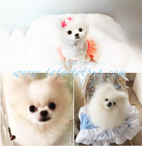 Sold! Retired Breeding Pom Sale -Purchased two Together