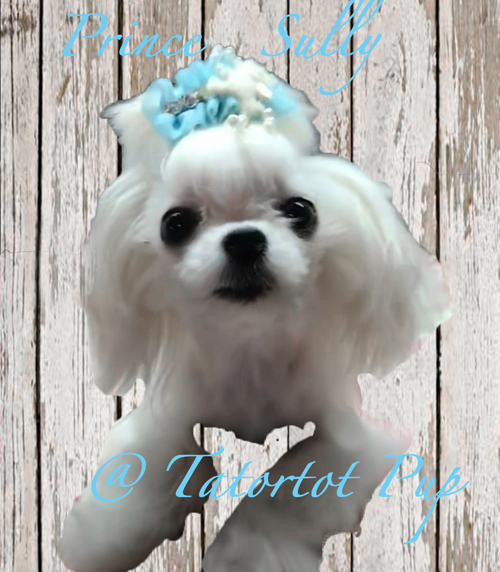 Prince Sully a Proven Maltese Stud - $4000 plus delivery or Nuetered as a Pet $3500