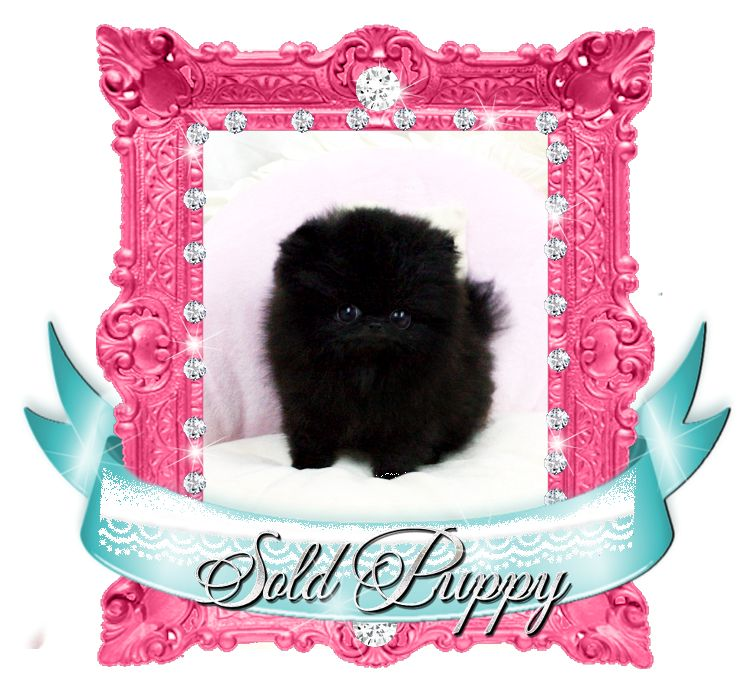 Super Star Black Pom SOLD