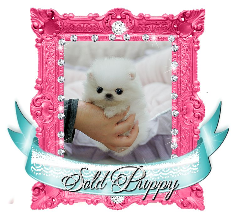 Super Tiny White Pom SOLD