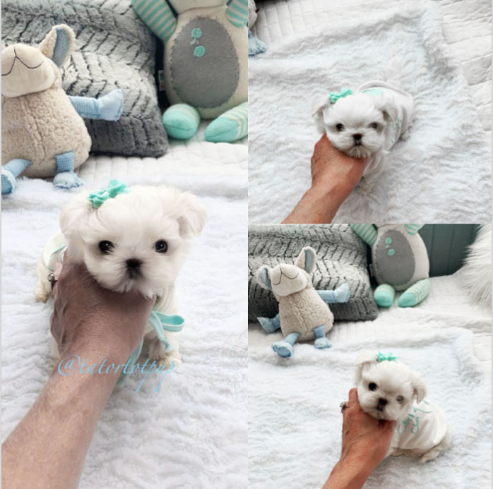 Sold! Amazing Tiny CKC registered Maltese Teacup Sushi - Teacup Maltese Male $3700 plus delivery