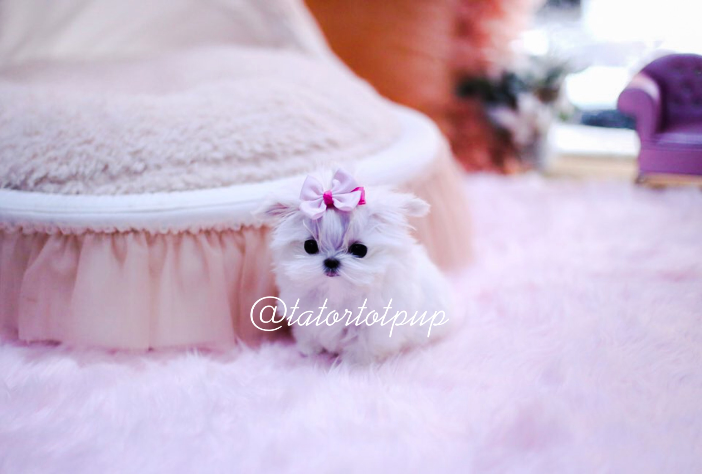 Sold! - Teacup Maltese Princess Bijou - Amazing Tiny Little Girl $6500 plus delivery