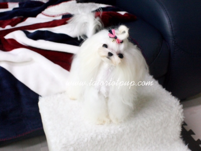 Micro Tiny Fully Grown Male Maltese Prince Fabio 10 months old 2.5 pounds!