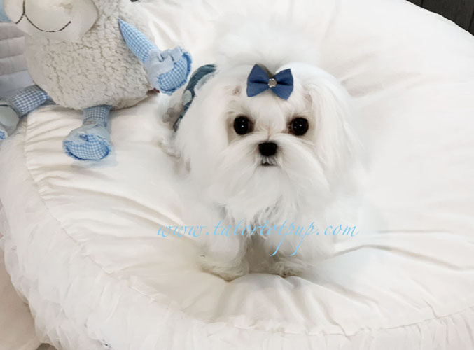 Available 6 month old Teacup Tiny Maltese Prince Jasper On Sale - $4500 plus delivery or Sales Tax
