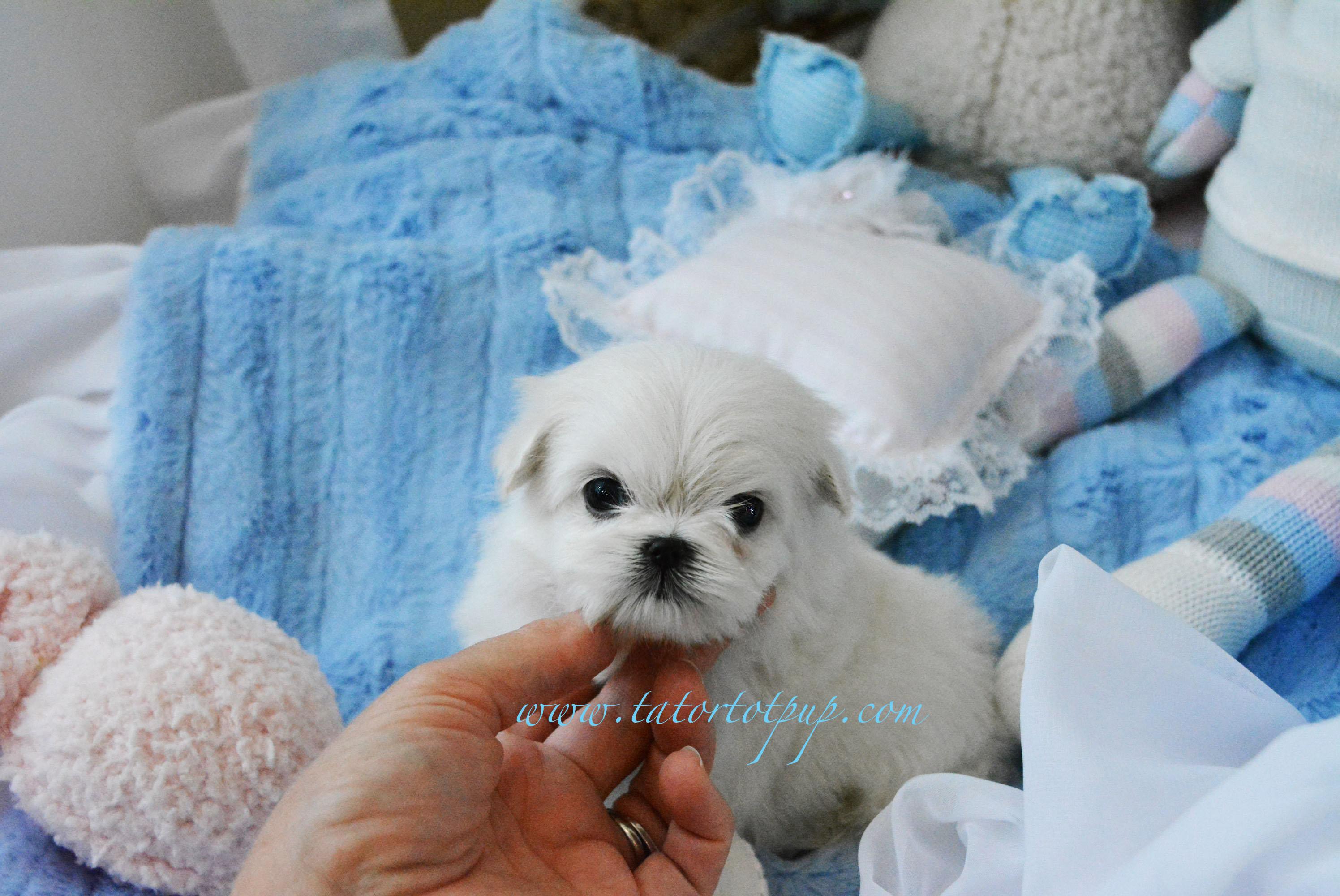 Sold!  Tiny Maltese Male Donovan $4500 plus delivery