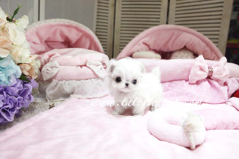 Sold!  PLATINUM Maltese OMG FACTOR One in a Million! Micro Tiny Teacup Princess Miu Miu