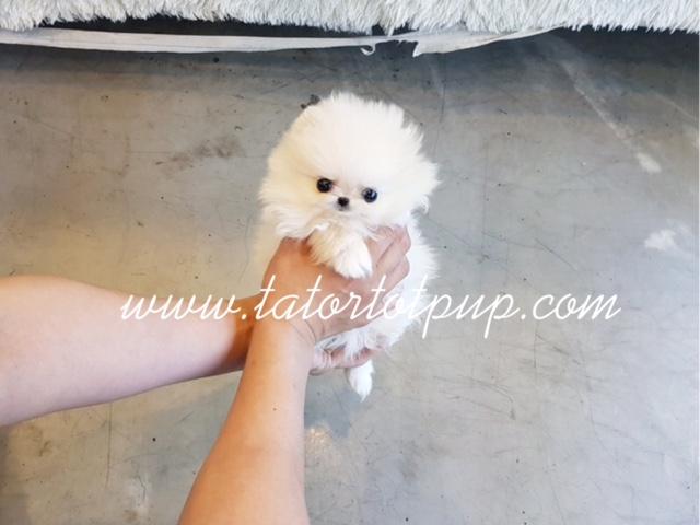 Sold To California!  Ms. Tiny - A Light Cream Micro Tiny Pomeranian Female $6500 plus delivery!