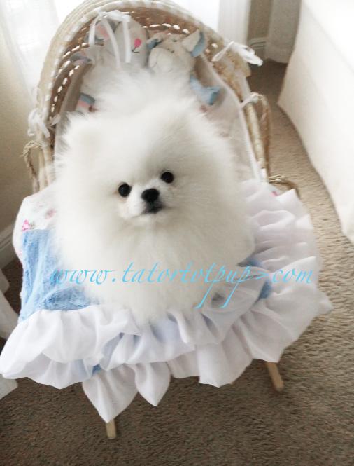 Prince Olaf a White Tiny Pomeranian Stud- Chaio Li Ya - Thailand Lineage