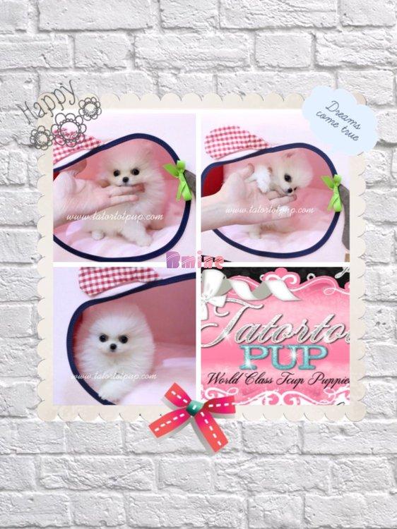 Sold!  Platinum Quality White Pom Princess BMINE $6000 plus delivery